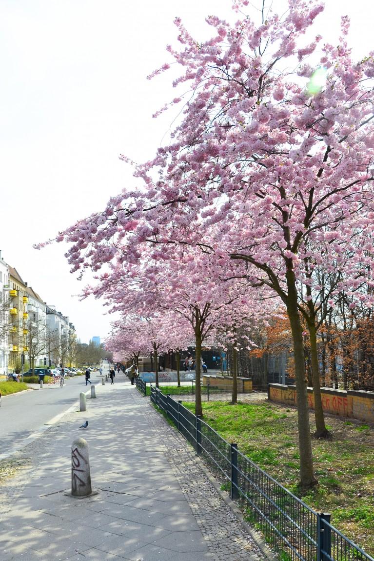 2015-Sakura bloesem Berlijn-11