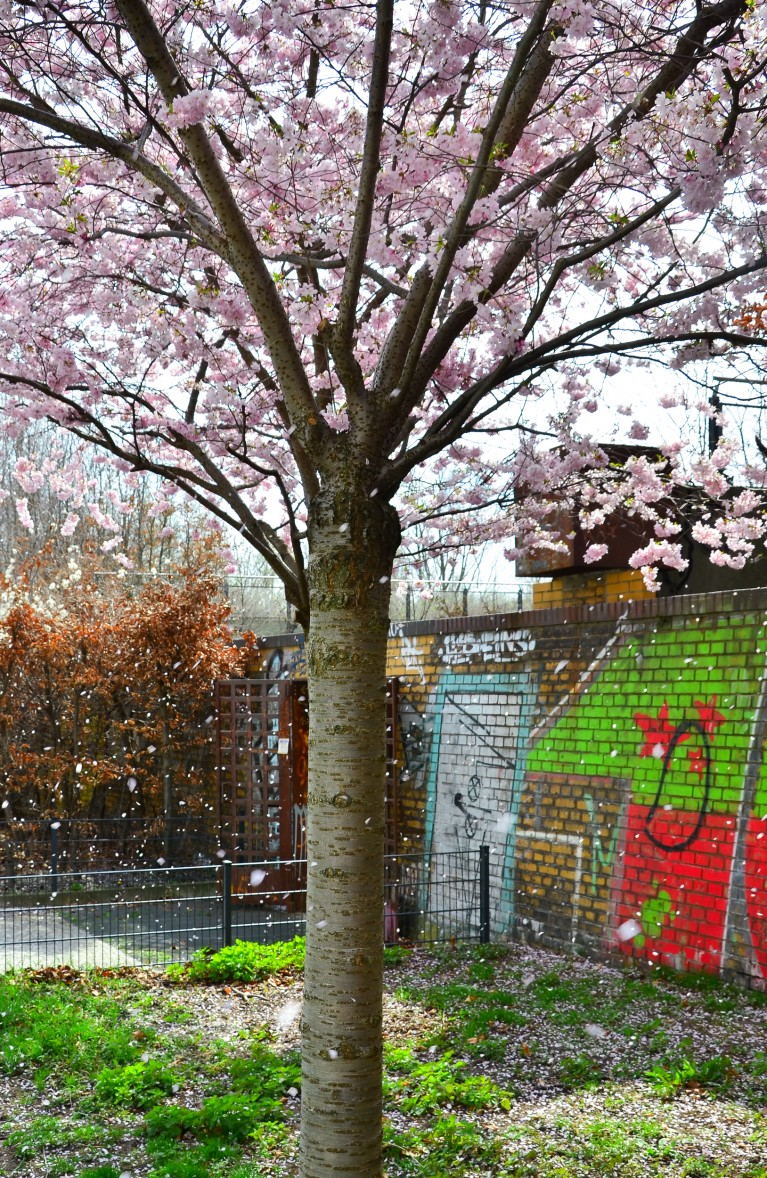 2015-Sakura bloesem Berlijn-14
