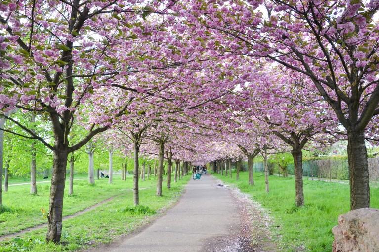 2015-Sakura bloesem Berlijn-22