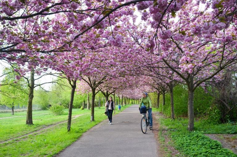 2015-Sakura bloesem Berlijn-23