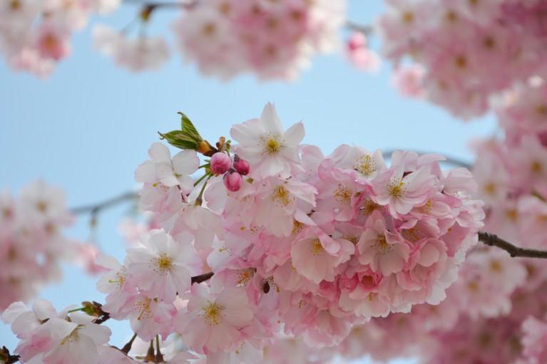 2015-Sakura bloesem Berlijn-7