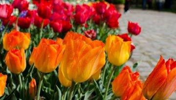 Tulipan – Tulpenfestival in de Britzer Garten
